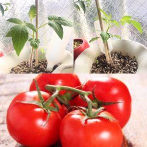 ♪マイブームのトマト栽培♪